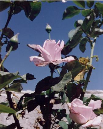 Roses in Ibillin, ISRAEL (1992)