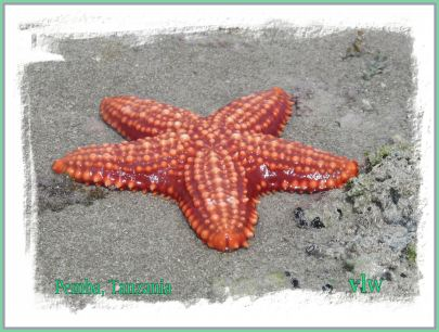 Pemba starfish closeup with edge borders