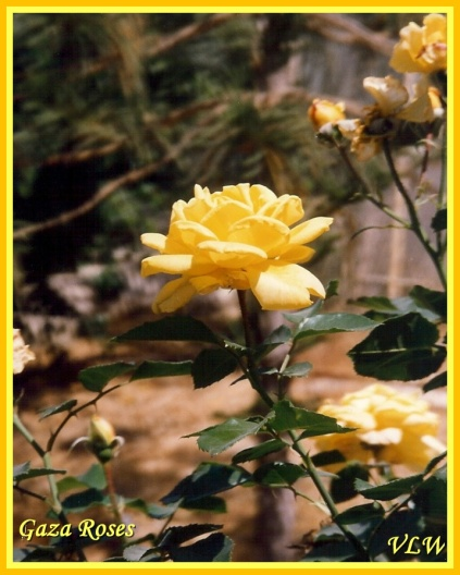Gaza yellow roses (2)