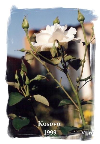 Kosovo Podejeve white rose in rubble (2)