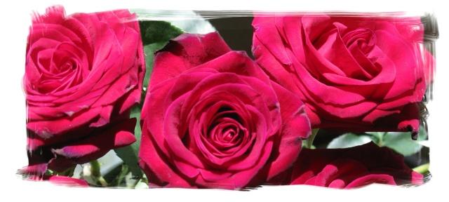 Roses header 2