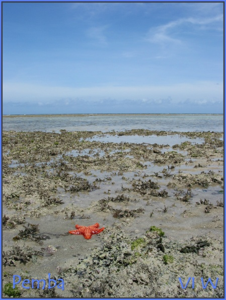 Pemba starfish in ocean low tide