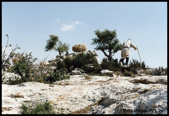 Bethlehem shepherd