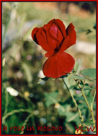 Kosovo Rose (2)
