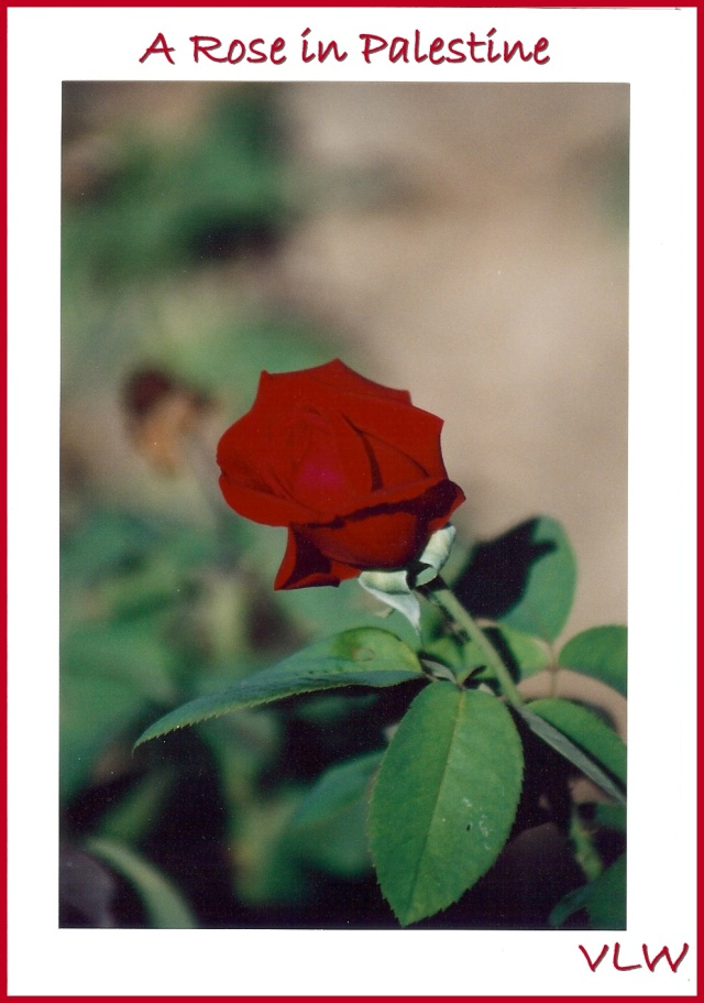 Palestinian Rose formatted