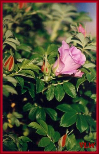 PEI roses