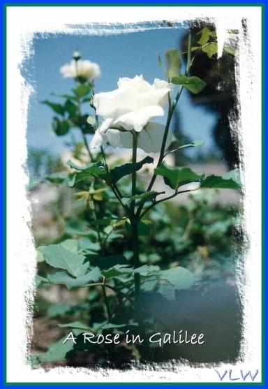 White Rose Galilee (2)