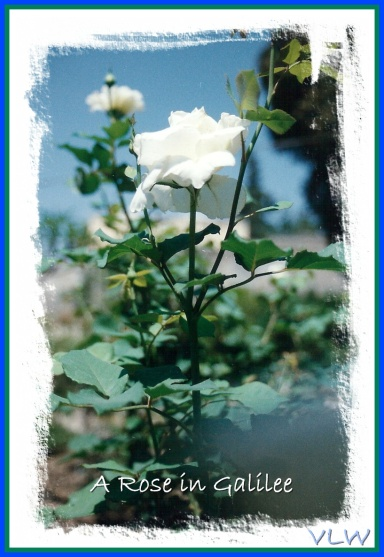 White Rose Galilee (2)
