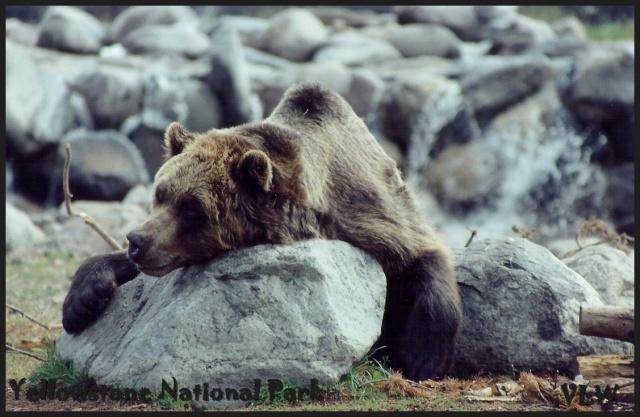 WY tired bear