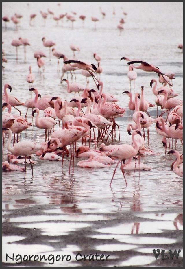 Ngorogoro crater flamingos (2)