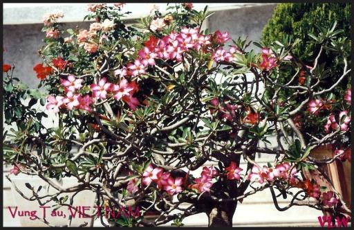 Vung Tau flowers (2)