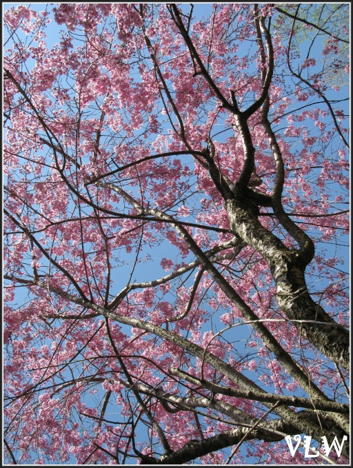 Jap Cherry Tree blue view