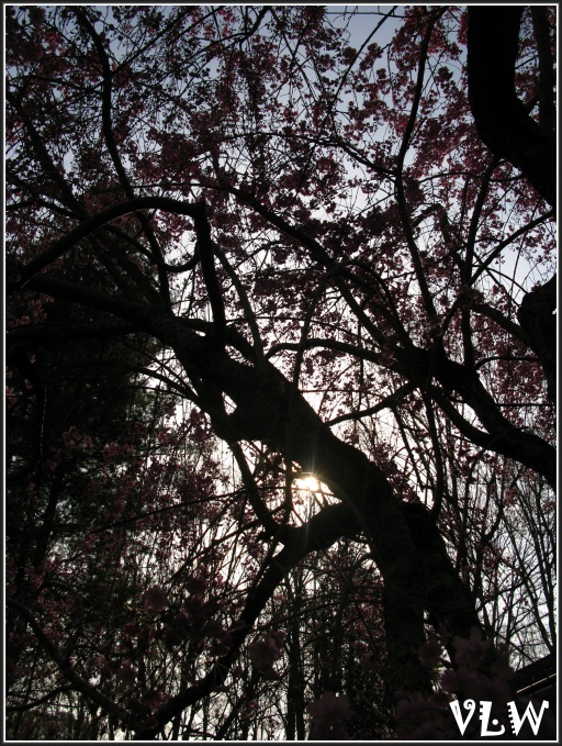 Jap Cherry Tree dark view