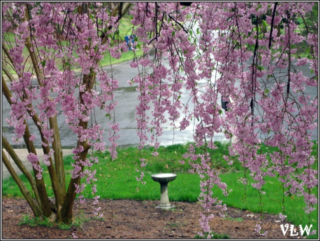 Jap cherry tree with fountain