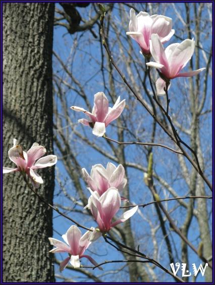 Tulip Tree BG
