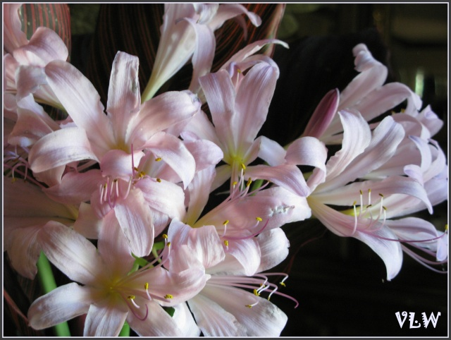 August ressurrection lilies