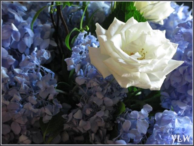 August white rose