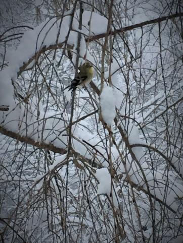 02 26 snowy goldfinch