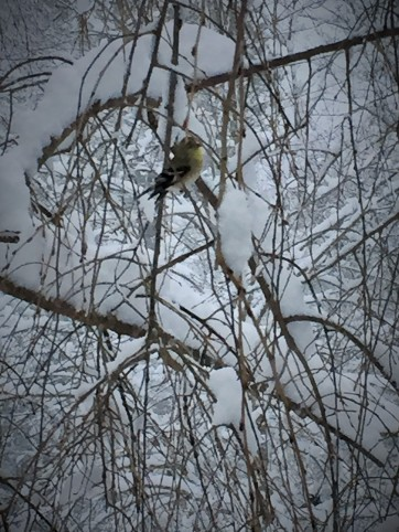 02 26 snowy goldfinch