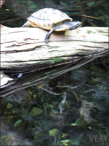 Aquarium turtle reflection (2)