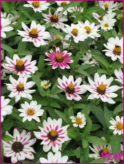 Perky flowers Maymont (2)
