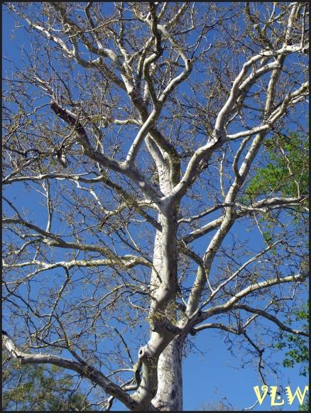 Gloucester Tree (2)