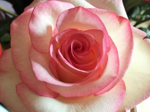 Mamas rose