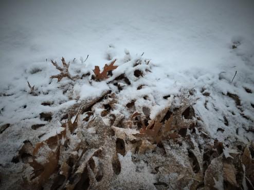 02 26 snowy leaves