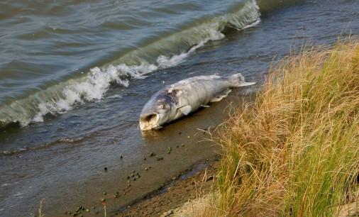 Fish on Jamestown beach (2)