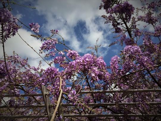wisteria WRL april 2014