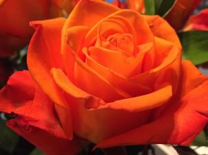 Valentine Rose 2018