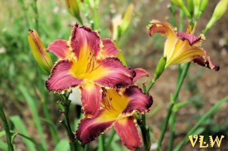Brilliant day lillies Norfolk Bot Garden 2